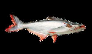Sötvattensfisk - Hajmal