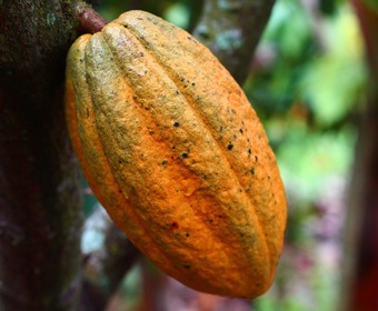 Kakaoböna PS