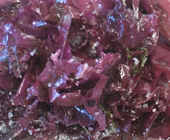röda alger PS