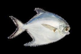 Saltvattensfisk - Havsbraxen/Ray's Bream