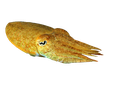 Sepia, Cuttlefish