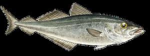 Saltvattensfisk - Sej/Gråsej