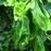 Havssallat, gröna alger, sjögräs PS