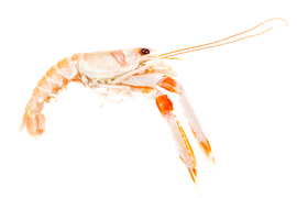 Skaldjur - Havskräfta