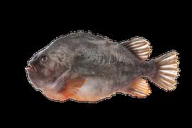 Saltvattensfisk - Stenbit/Sjurygg