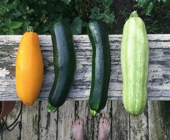 zucchini, squash, courgette PS