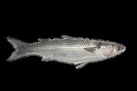 Saltvattensfisk - Multe