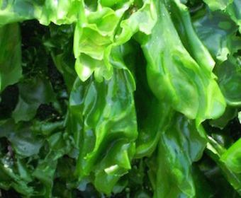 Gröna alger – havssallat