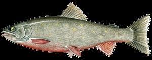 Sötvattensfisk - Röding