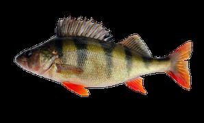 Sötvattensfisk - Abborre
