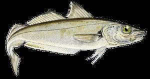 Saltvattensfisk - Vitling