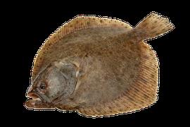 Saltvattensfisk - Piggvar och Slätvar