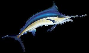 Saltvattensfisk - Marlin/Svärdfisk