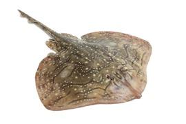 Saltvattensfisk - Rocka
