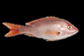 Saltvattensfisk - Snapper