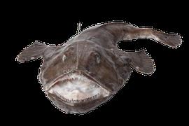 Saltvattensfisk - Marulk