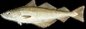 Saltvattensfisk - Lyrtorsk/Bleka