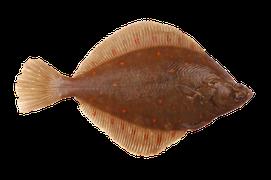 Saltvattensfisk - Flundra/Skädda/Spätta