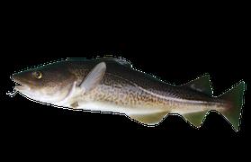 Saltvattensfisk - Torsk
