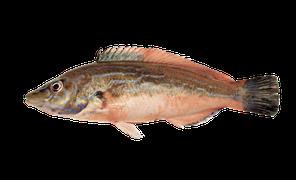 Saltvattensfisk - Gylta