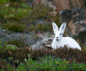 hare, skogshare