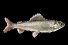 Sötvattensfisk - Harr