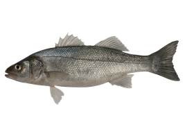 Saltvattensfisk - Havsabborre