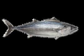 Saltvattensfisk - Bonito